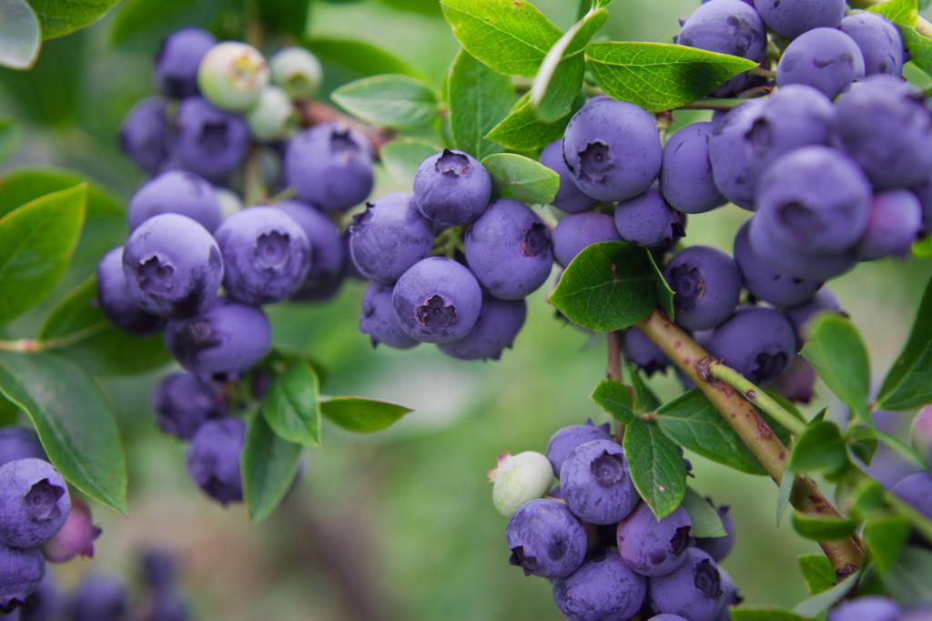 Antioksidansi u voću su među najjačima, a na tronu sjedi - aronija!