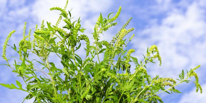 Alergija na ambroziju - nesnosna ambrozija jedan je od najjačih poznatih alergena