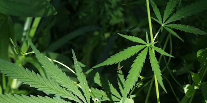 Iskusni korisnici marihuane mogu se zaposliti kao recenzenti u novinama.