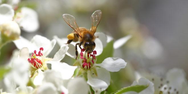 Pad populacije divljih pčela povezan s upotrebom pesticida